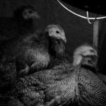 Guinea Hens at 6 Weeks