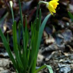 Our First Daffodil Bloom