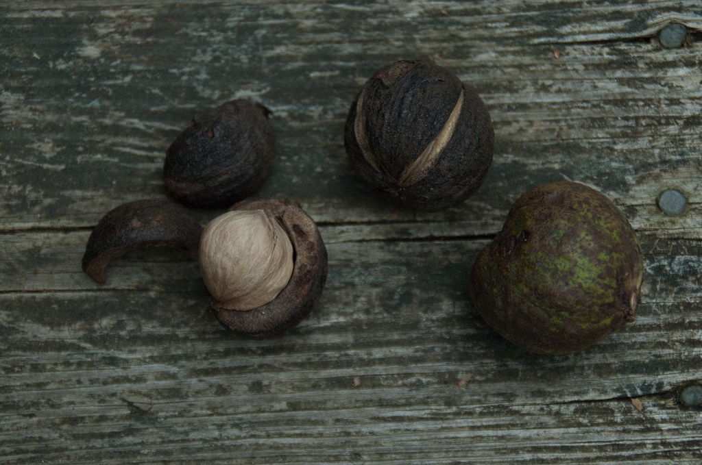 How-to: Hickory Nuts