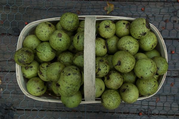 How-to: Black Walnuts